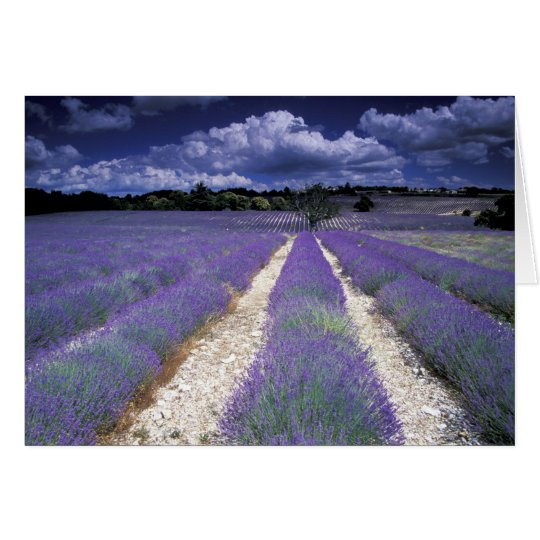 Europe, France, Provence. Lavander fields Card