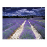 Europe, France, Provence. Lavander fields Postcard