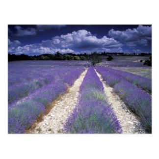 Europe, France, Provence. Lavander fields Post Cards