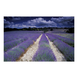 Europe France Provence Lavander fields Poster