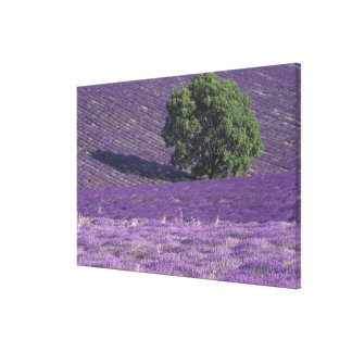 Europe, France, Provence, Sault, Lavender fields Canvas Print