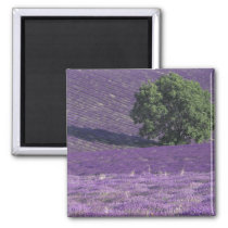 Europe, France, Provence, Sault, Lavender fields Magnet