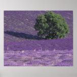 Europe, France, Provence, Sault, Lavender fields Poster