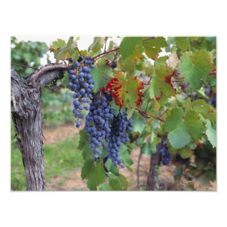 Europe, France, Roussillon. Vineyards, with Photo Print