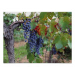 Europe, France, Roussillon. Vineyards, with Print