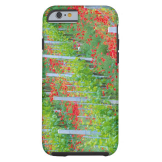 Europe, Italy, Tuscany. Colorful red poppies in Tough iPhone 6 Case