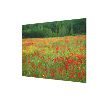 Europe, Italy, Tuscany, red poppies in field. Canvas Print