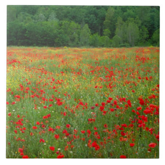 Europe, Italy, Tuscany, red poppies in field. Tile