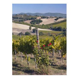 Europe, Italy, Umbria, near Montefalco, Vineyard Postcard