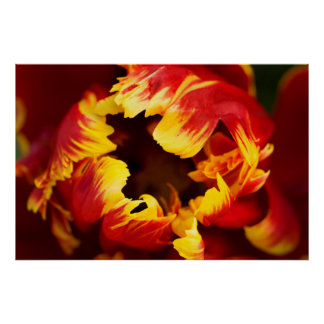 Europe, Netherlands, Lisse. Parrot tulip Poster