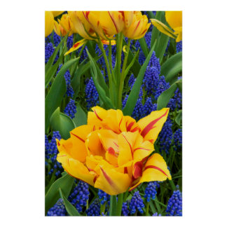 Europe, Netherlands, Lisse. Tulips Poster