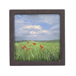 Europe, Tuscany, Poggiolo. Red poppies sway Gift Box