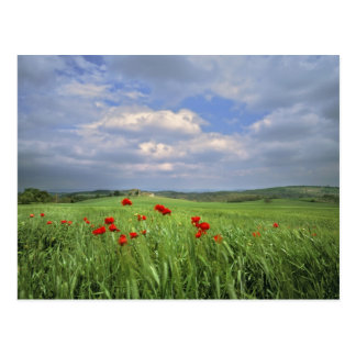 Europe, Tuscany, Poggiolo. Red poppies sway Postcard