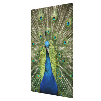 Europe, Wales, Cardiff. Cardiff Castle, peacock Stretched Canvas Print