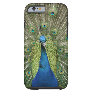 Europe, Wales, Cardiff. Cardiff Castle, peacock Tough iPhone 6 Case
