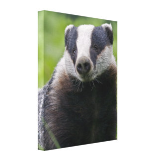 European Badger Wrapped Canvas Print