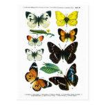 European Butterflies Plate II Postcard