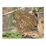 European Common Toad Postcard
