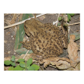 European Common Toad Print