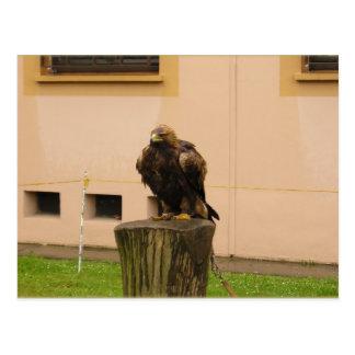 European Falcon Postcard