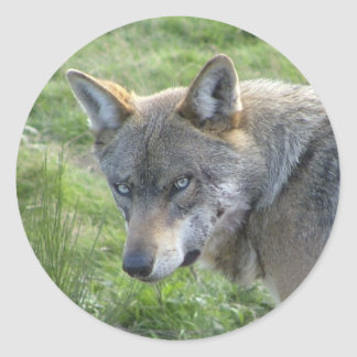 European grey wolf classic round sticker