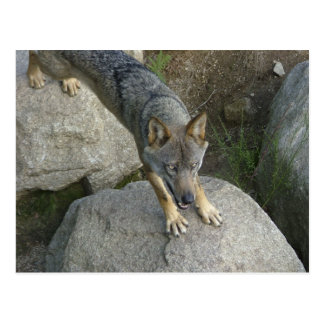 European grey wolf postcard