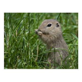 European ground squirrel postcard