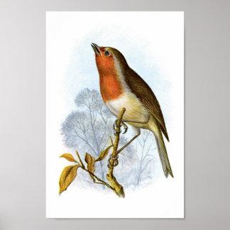 European Robin - Erithacus rubecula Print