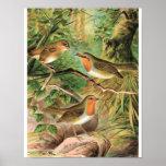 European Robin Vintage Bird Illustration Print