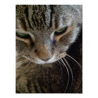 European Shorthair Tabby Cat Closeup Poster