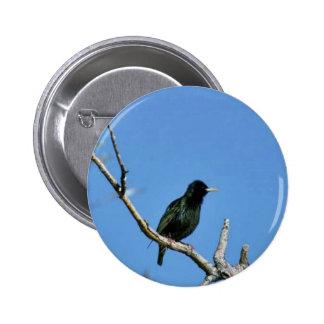 European starling pinback button