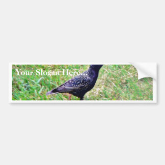 European Starling Car Bumper Sticker