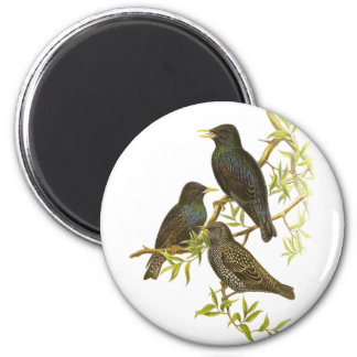 European Starling Fridge Magnets