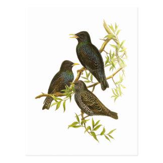 European Starling Postcards