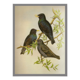 European Starling Posters