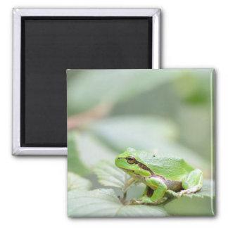 European tree frog in green magnet