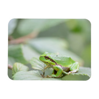 European tree frog in green rectangular magnet