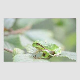 European tree frog in green rectangular sticker