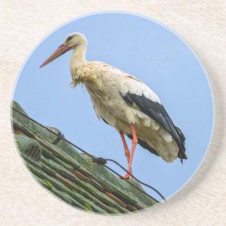 European white stork, ciconia coaster