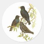 Europeo Starling Pegatina Redonda
