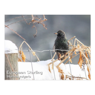 Europeo Starling Postal