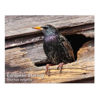 Europeo Starling Tarjetas Postales