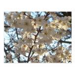 Evening Cherry Blossoms I Flowering Spring Tree Postcard