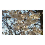 Evening Cherry Blossoms I Flowering Spring Tree Poster