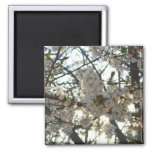 Evening Cherry Blossoms II Flowering Spring Tree Magnet