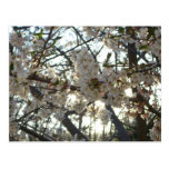 Evening Cherry Blossoms II Flowering Spring Tree Postcard