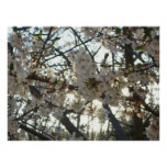 Evening Cherry Blossoms II Flowering Spring Tree Poster