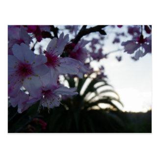 Evening Cherry Blossoms Postcard
