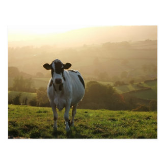 Evening Cow Postcard