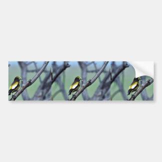 Evening Grosbeak Car Bumper Sticker